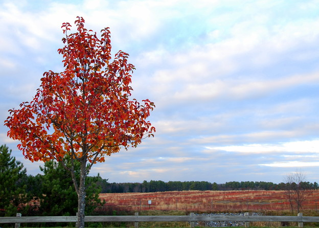 Callery Pear in Red 11-1-12