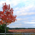 Photos: Callery Pear in Red 11-1-12