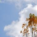 Photos: Lombardy Poplar and the Sky 11-2-12