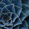 Photos: Mexican Rose 12-9-12