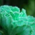 Green Carnation 3-16-13