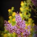 Declaration Lilac 3-10-13