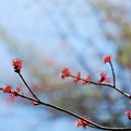 Male Red Maple Flowers 4-27-13