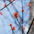 Photos: Red Maple 4-27-13