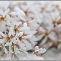 Photos: Downy Serviceberry Bloomed 5-7-13