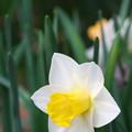 Photos: Daffodil 5-8-13