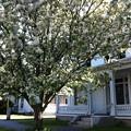 写真: CrabApple Tree 5-18-13