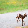 Hopping Bambi 6-16-13