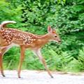 Running Bambi 6-16-13
