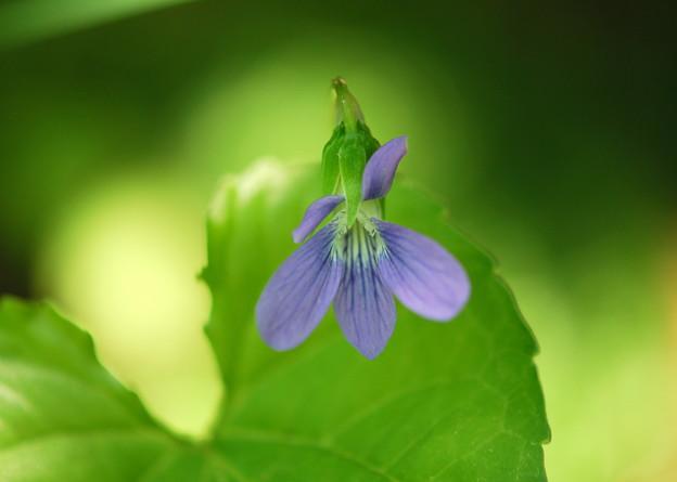 Photos: Marsh Blue Violet 6-2-13