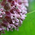 Common Milkweed in Pink