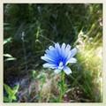 Chicory 7-14-13