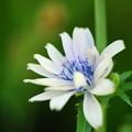 White Chicory 7-14-13