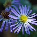 Late Purple Aster 9-1-13