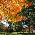 写真: A Maple Tree in Bowdoin 10-19-13