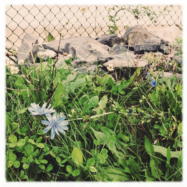 Photos: The Last Chicory and the Fence 10-19-13