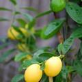 Limequat 12-8-13