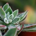 Chenille Plant 12-8-13