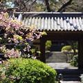Photos: 河津桜と門
