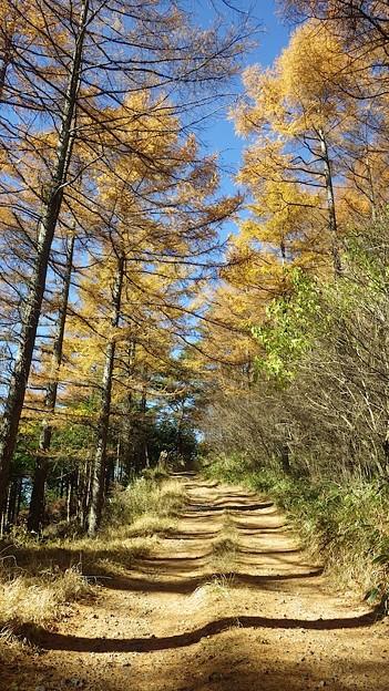 131123 奈良倉山から松姫峠への林道カラマツ黄葉