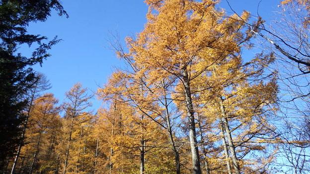 131123 奈良倉山登りのカラマツ黄葉