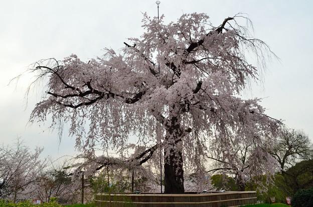2013_0330_162042_S 枝垂桜