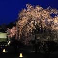 写真: 二条城の夜桜