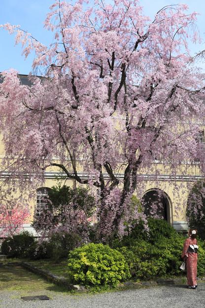 写真: 桜を見上げる女性 京都府庁