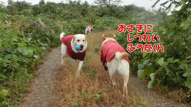 Photos: 雨の放牧