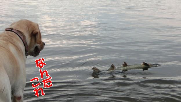鮭とわんこ