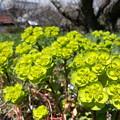 Photos: 緑の花?
