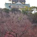 Photos: 大阪城‥ちょっとだけ梅コラボ