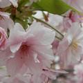 Photos: 造幣局桜の通り抜け