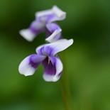 スミレ色の花