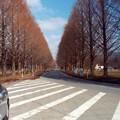 Photos: 恋人の聖地・メタセコイヤの並木道(冬)雪なし