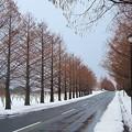 Photos: メタセコイヤの並木道・冬