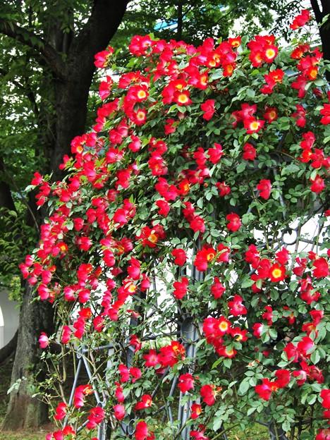 薔薇のシャワー
