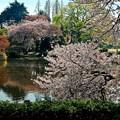 Photos: 新宿御苑のさくら6