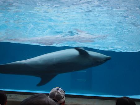 イルカの泳ぎ方実践なう
