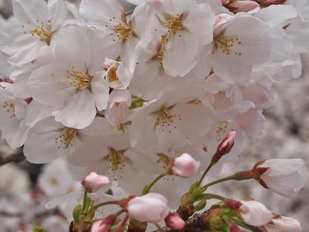 桜をどうぞ