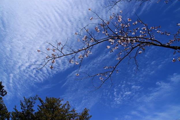 Photos: 青空に浮かぶ桜