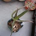 写真: Aloe vaombe