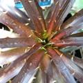 写真: Dyckia hybrid