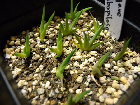 Agave albopilosa seedling