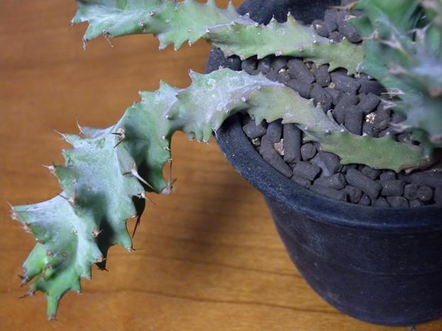 写真: Euphorbia tortirama
