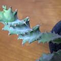 Photos: Euphorbia tortirama
