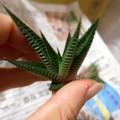 写真: H.limifolia v. major