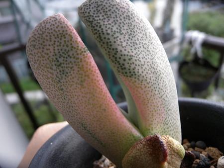 Pleiospilos simulans variegated