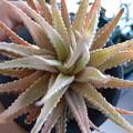 写真: Haworthia cv.Hakucho