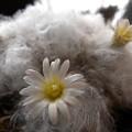 写真: Mammillaria plumosa
